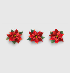 red christmas poinsettia flower isolated on white vector image