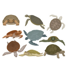 turtles in various views set tortoise reptile vector image