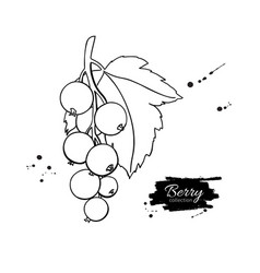 Black or red currant drawing isolated vector