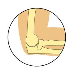human cubit bones anatomy vector image