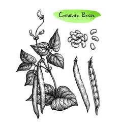 ink sketch common bean vector image
