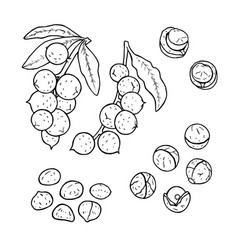 linear set of macadamia nuts line drawing vector image