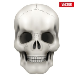 Human skull on isolated white vector