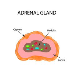 the anatomical structure of the adrenal gland vector image vector image