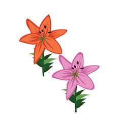 Orange and violet asiatic lily flowers on white vector