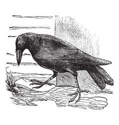 Raven vintage engraving vector image