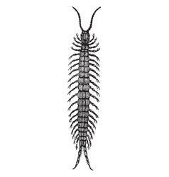 centipede vintage vector image