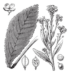 Scurvy Grass engraving vector image