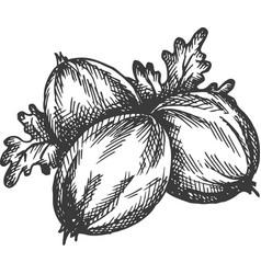 Gooseberry hand drawn sketch fruit vector