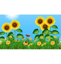 Sunflower field with ladybugs flying vector image