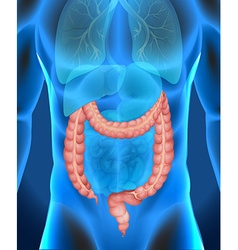 Xray of humans large intestine vector image