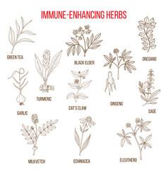 Immune enhancing herbs vector