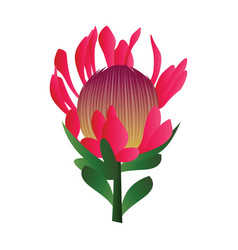 Bright pink protea flower with green leafs on vector