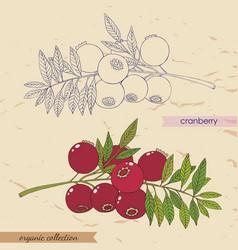 Cranberry 2 vector