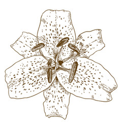 engraving of tiger lily flower vector image vector image