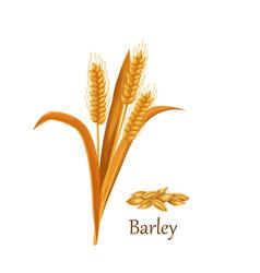 Barley grass cereal crops vector