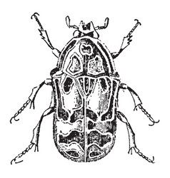 Flower chafer beetle vintage vector