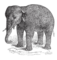 Asian Elephant vintage engraving vector image