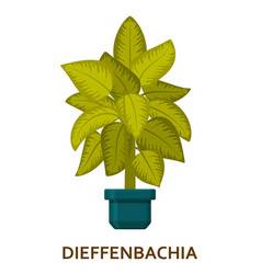 dieffenbachia decorative houseplant in pot vector image