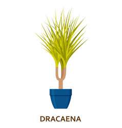 dracaena decorative houseplant in pot florist vector image