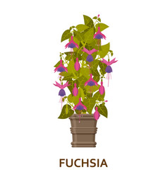 fuchsia decorative houseplant in pot florist vector image