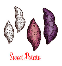 Sweet potato yam batata sketch of root vegetable vector