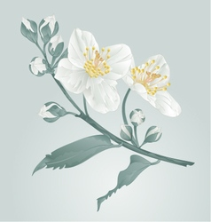 Twig jasmine flower and buds vintage vector image