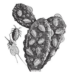 Mealybug vintage engraving vector