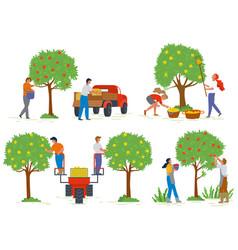 Picking apples gardener in orchard fruit vector