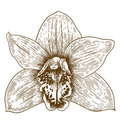Engraving of orchid flover vector