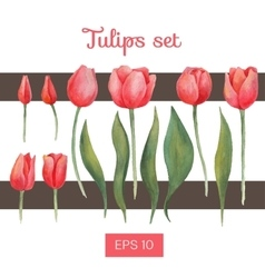 watercolor isolated tulips set vector image vector image