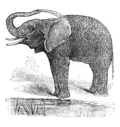 African bush elephant vector