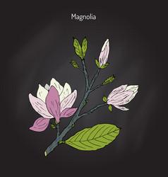 Blossom brunch of magnolia vector