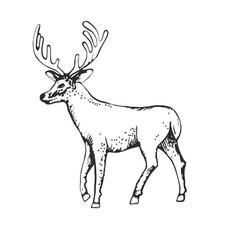 deer engraving style vintage hand vector image vector image