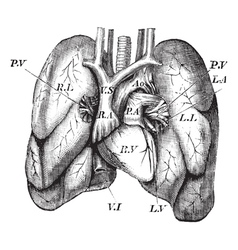 Human Heart Lungs engraving vector image
