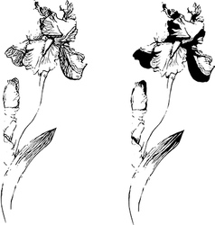 sketch of an iris vector image