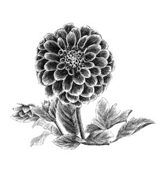 peony hand drawn sketch vector image