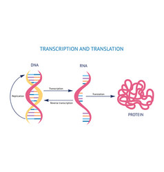scientific model dna and rna transcription and vector image