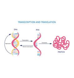 Scientific model dna and rna transcription vector