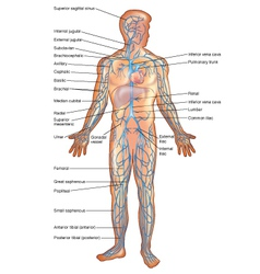 Veins in the Human Body vector image