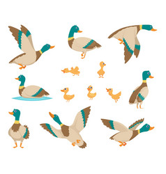 Wild birds funny ducks flying and swimming vector
