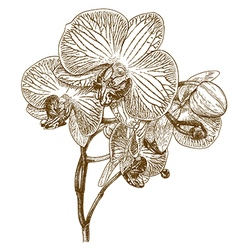 engraving orchid vector image vector image