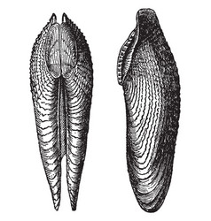 Pholas dactylus vintage vector