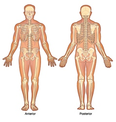 Skeleton Anterior Posterior Views vector