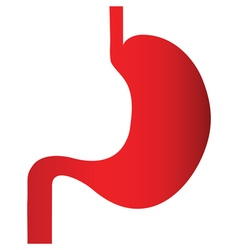 stomach vector image
