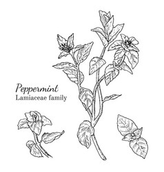 ink peppermint hand drawn sketch vector image vector image