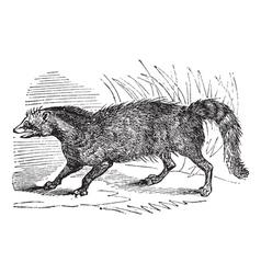 Civet vintage engraving vector