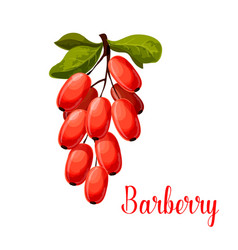 barberry fruit icon for food and spices design vector image