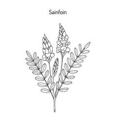 common sainfoin onobrychis viciifolia vector image