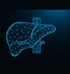 liver with artery and veins low poly model human vector image